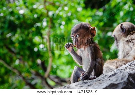 Cub Macaca fascicularis sitting on a rock and eat. Baby monkeys on the Phi Phi Islands Thailand.