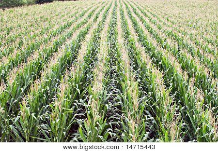 Corn Rows