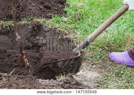 Planting fruit tree saplings in landing pit outdoors closeup step by step guide