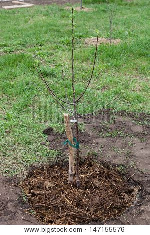 Fruit tree seedling planted in the ground and covered mulch of compost step by step guide