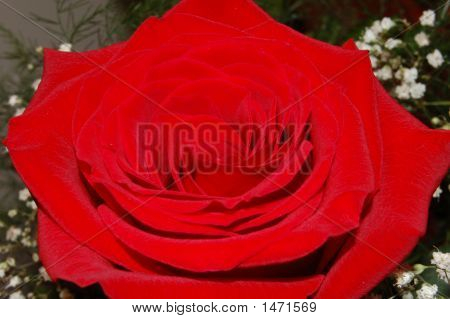 Red Floral Rose