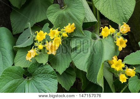 Thladiantha dubia or Manchu tubergourd goldencreeper wild potato in a natural environment. Use as an ornamental plant of the Cucurbitaceae family as a medicinal herb in Chinese medicine