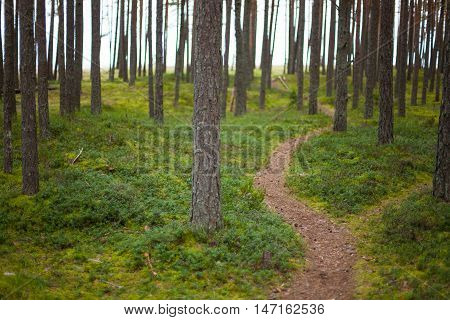 Hiking trail in a pristine pine forest with a lush green floor