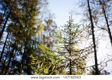 Blue skies and sun shining through the branches of a small spruce tree in a pristine forest