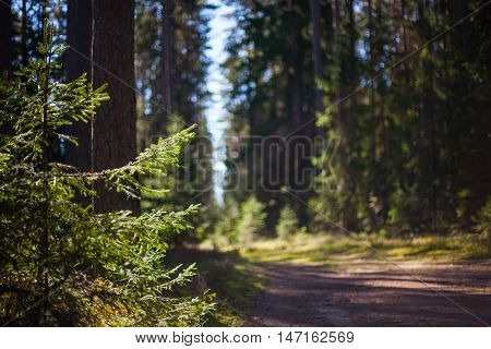 Spruce tree branches in a pristine forest beside a hiking trail