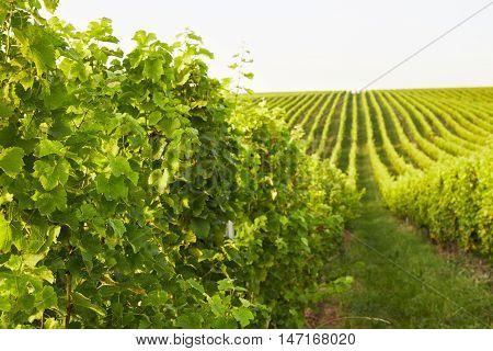 Beautiful Rows Of Grape Vines In Mikulov, Moravia