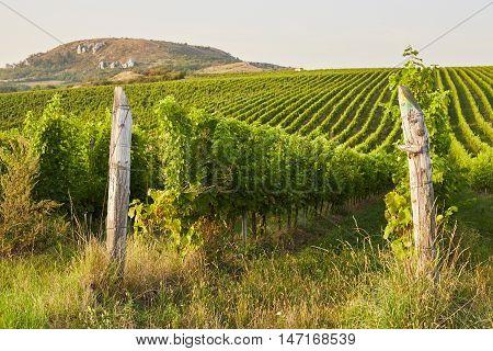 Beautiful Grape Vines In Mikulov, Moravia