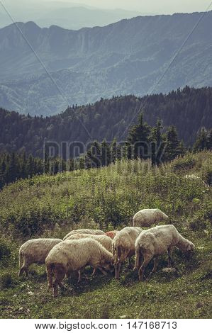 Flock of sheep grazing on a mountain pasture up in Carpathians Mountains Romania.