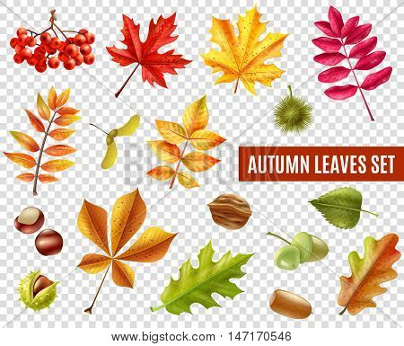 Colorful autumn leaves from different trees chestnuts rowan and acorns isolated on transparent background flat vector illustration