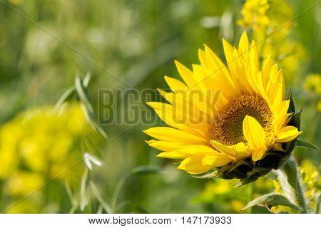 Single sunflower on a field of sunflowers lit nice light of the sun