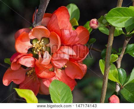 Japanese quince red flowers among the foliage closeup