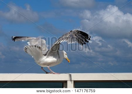 Herring Seagull Flapping Its Wings, Sitting On The Hand Rail Of An Ocean Liner, Cloudy Blue Sky Behi