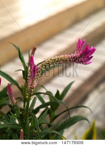 plumed cockscomb, silver cock's comb, or Celosia argentea