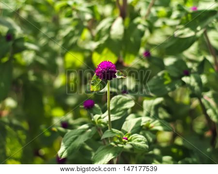 Bachelor's button, Button agaga, Everlasting, Globe amaranth, Pearly Everlasting, or Gomphrena globosa
