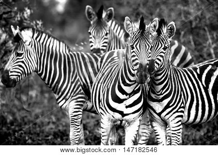 Black and white photo of a wild zebras family, beautiful animals of African continent, Kruger national park, safari game drive, South Africa