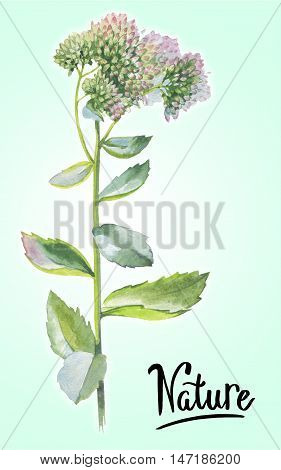 Wildflower Livelong flower in a watercolor style isolated. Full name of the herb: Orpine, Sedum Telephium, hylotelephium, livelong. Aquarelle flower for background, texture, pattern, frame or border.