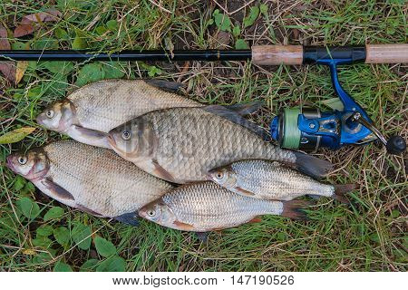 Several Common Bream Fish, Crucian Fish Or Carassius And Roach Fish On The Natural Background. Catch