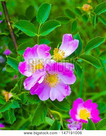 dog-rose. Rosehip. dog rose flower. A branch of a flowering wild rose. Rose flower. wild rose flower. Medicinal plant.
