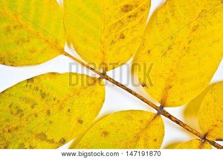 Autumn Walnut Tree Leaf Isolated On White Background.