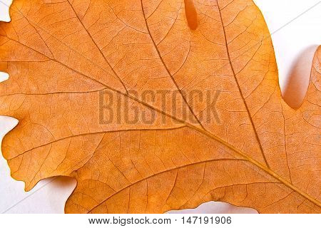 Close Up View Of Autumn Oak Tree Leaf As Background