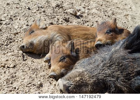 Pigs lying on the ground in the sun