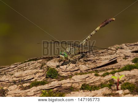 A beautiful Jade Clubtail sits on a partially submerged log enjoying the warm sun.