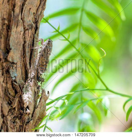 Close up of Cicada camouflaged on an tree Crete Greece