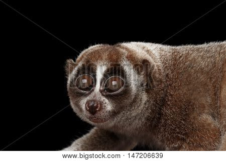 Close-up Face of Funny Animal Lemur Slow Loris Looks up Isolated Black background poster
