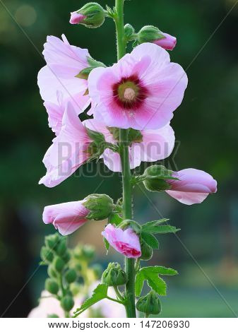 The pink hollyhock (Alcea rosea) are blooming.