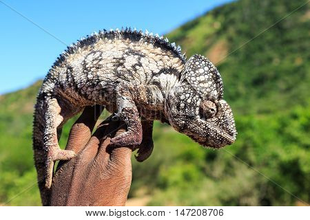 Black And White Chameleon Sitting On A Hand