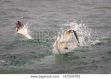 Gannets diving for fish in the ocean