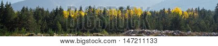 panoramic image of mysterious misty fog pine tree forest with yellow spot background