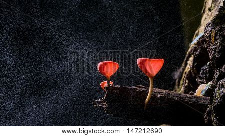 Fungi cup red Mushroom Champagne Cup with rainy fog Can found in the rainy season forest of Thailand
