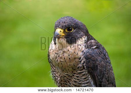 Peregrine falcon looking left