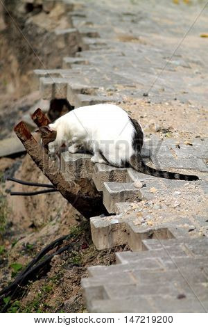 White cat with broun tail hunting on construction area