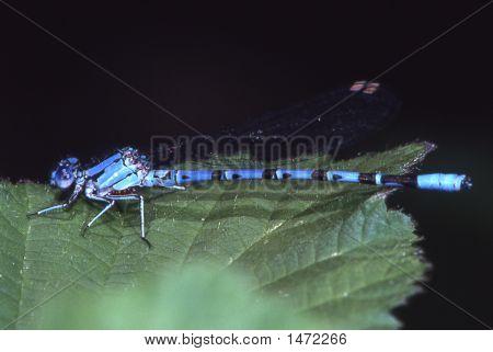 Bluedragonfly