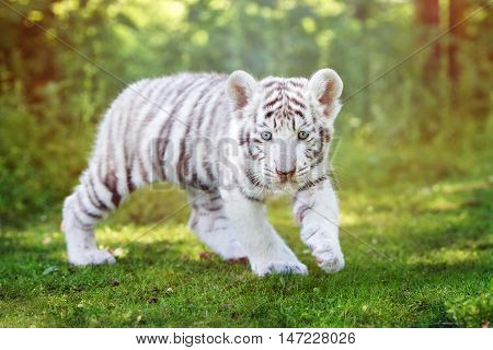 adorable white bengal tiger cub walking outdoors
