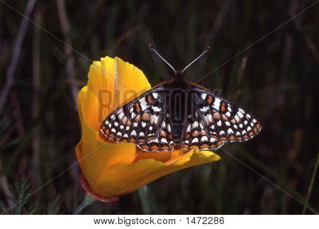 Butterflypoppy