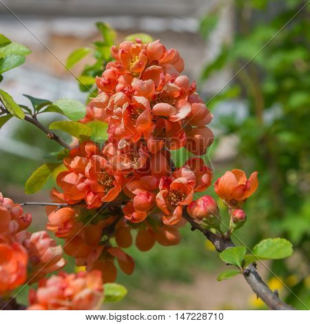 pink flowers on the branches of quince