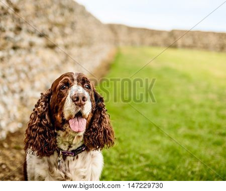 Brown And White English Springer Spaniel Dog