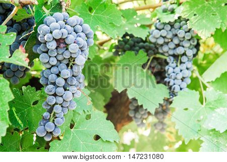some bunch of black grapes in vineyard