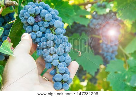 a bunch of black grapes in vineyard