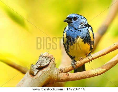 The Turquoise Tanager (Tangara mexicana). Tropical bird in rainforest.