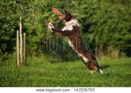 border collie dog catching a flying disc