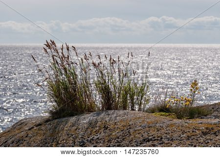 Green grass and wild yellow flowers growing on the rocky shore of the lake on the background of water and sky.