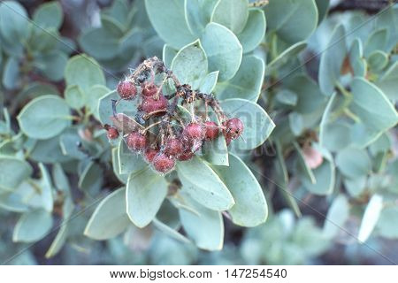 Closeup of edible sticky red fruit of Arctostaphylos glauca big berry manzanita with oval gray green leaves and debris stuck to fruit