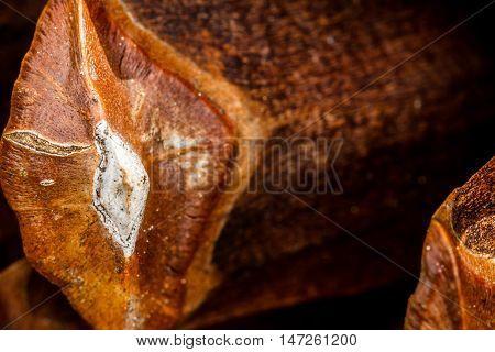 Closeup of a ponderosa pine (Pinus ponderosa) cone scale