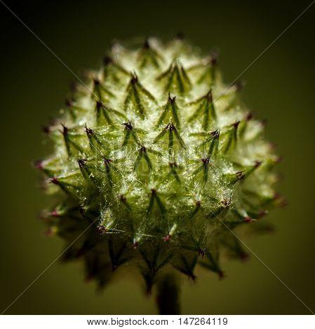 Spiky fuzzy bud of a head of flowers