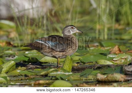Wood Duck (Aix sponsa) in eclipse plumage wading through lily pads - Pinery Provincial Park Ontario Canada