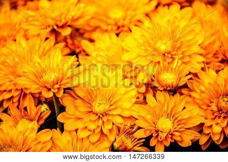 Yellow Chrysanthemum In Autumn